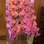 美しい胡蝶蘭
