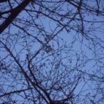 桜、まだつぼみだけど。